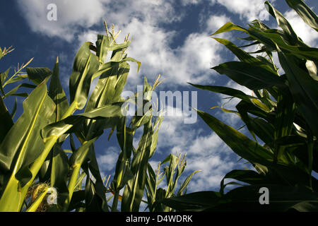 (FILE) - A file picture dated 05 August 2010 shows genetically modified corn in Ueplingen, Germany. According to - Stock Photo