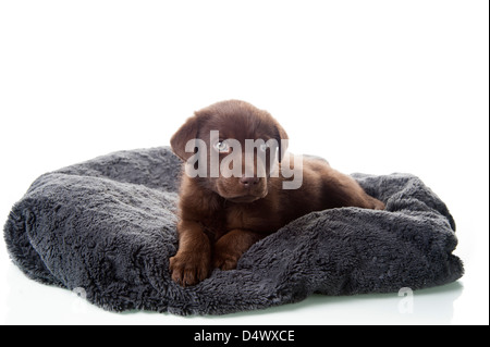 Adorable brown labrador retriever puppy laying on dog bed, - Stock Photo