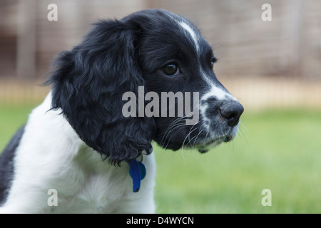 Portrait of a cute ten week old black and white English Springer Spaniel puppy dog in a garden. England, UK, Britain - Stock Photo