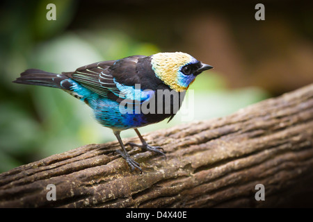 Golden-hooded Tanager (Tangara larvata) sitting on a trunk. It is a passerine bird living in central America - Stock Photo
