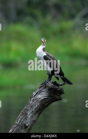 White-breasted Cormorant  Phalacrocorax lucidus standing on an old lake side dead tree trunk looking into the camera - Stock Photo