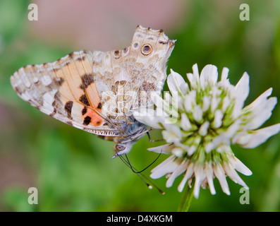 Painted Lady,Vanessa (Cynthia) cardui on a withe flower with wings open side view - Stock Photo