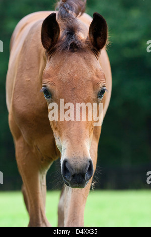 Portrait of bay foal walking toward camera position. - Stock Photo