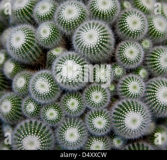 close up abstract pattern of cactus succulents with thorns in a planter pot, potted, USA, US, color connected images - Stock Photo