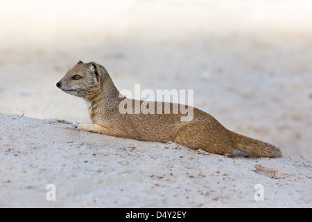 Yellow mongoose (Cynictis penicillata) Kgalagadi Transfrontier Park, South Africa, February 2013 - Stock Photo