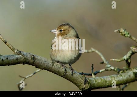 female chaffinch , fringilla coelebs on branch - Stock Photo
