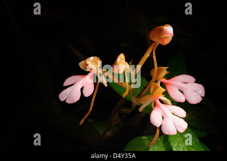 The Pink-Lipped Habenaria (Pink Snap Dragon Flower) found in tropical rain forests,NationalPark Thailand.