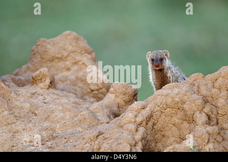 Banded Mongoose on termite mound, Maasai Mara, Kenya - Stock Photo