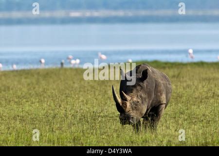 White Rhino, Lake Nakuru National Park, Kenya - Stock Photo