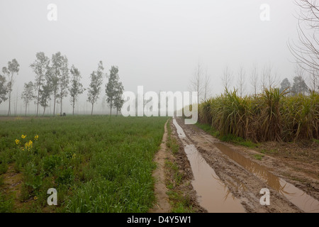 A muddy farm track running through arable fields on a misty morning in rural Punjab India with sugar cane and eucalyptus - Stock Photo