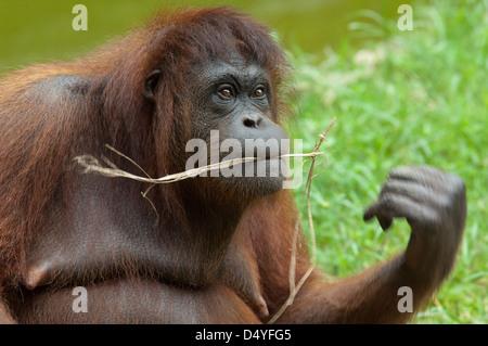 Malaysia, Borneo, Sabah, Kota Kinabalu, Lok Kawi Wildlife Park. Bornean Orangutan (Pongo pygmaeus). - Stock Photo
