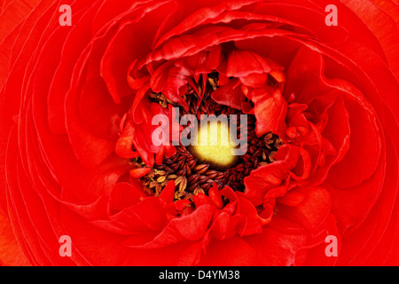 A macro capture of an elegant, red ranunculus blossom. - Stock Photo