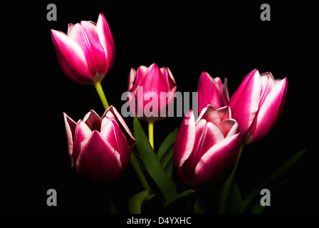 Bouquet Of Pink Tulips Over Dark Background. - Stock Photo