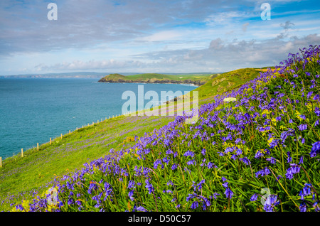 Bluebells growing on the North Cornwall coast by Port Quin Bay, England. - Stock Photo