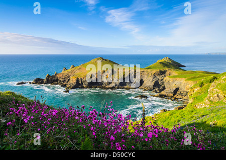 Red Campion growing on on the Pentire Headland overlooking Rumps Point near Polzeath, Cornwall, England. - Stock Photo
