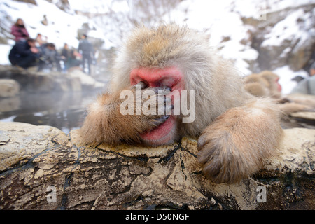A Japanese Macaque, reacting exhausted due to all the papparazzi. - Stock Photo