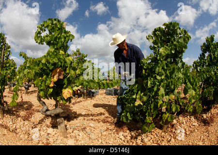 A worker collect grapes on a vineyard - Stock Photo