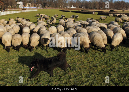Hoppegarten, Germany, Huetehund runs in front of a flock of sheep - Stock Photo