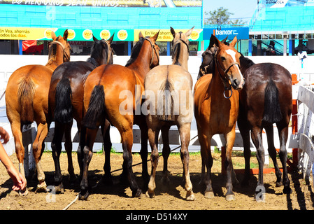 Jesus Maria, Argentina, horses are tied up side by side - Stock Photo