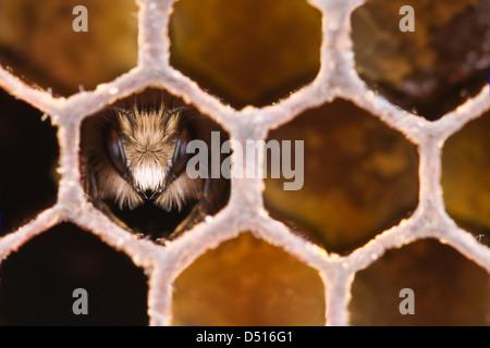 yong bee inside honeycomb closeup - Stock Photo