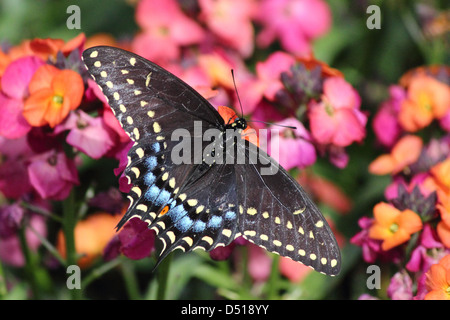 A colorful Eastern Tiger Swallowtail Butterfly feeding on a flower - Stock Photo