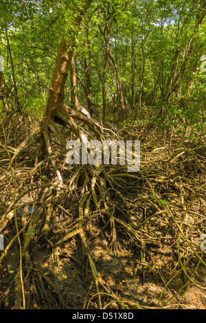 Mangrove forest in the Biological Reserve near the Nosara River mouth; Nosara, Nicoya Peninsula, Guanacaste Province, - Stock Photo