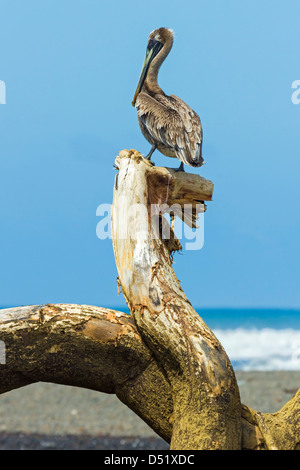 Brown Pelican (Pelecanus occidentalis) perched on driftwood at the Nosara River mouth, Nosara, Guanacaste Province, - Stock Photo