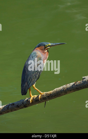 Green Heron (Butorides virescens) by the Nosara River at the Biological Reserve, Nosara, Guanacaste Province, Costa - Stock Photo