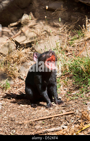 The Tasmanian Devil (Sarcophilus harrisii) is the largest of the Dasyuridae. Australia, Tasmania - Stock Photo
