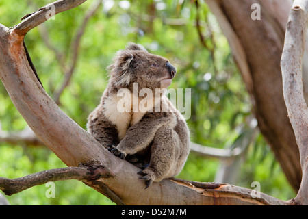 Koala (Phascolarctos cinereus) in tree, Australia - Stock Photo