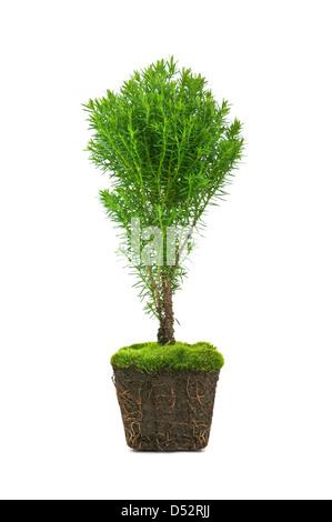 how to create a cedar hedge
