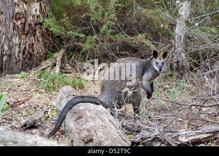 Swamp Wallaby ( Wallabia bicolor ) in Grampians National Park, Australia - Stock Photo