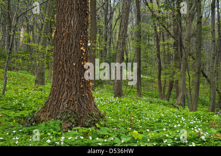old tree in spring meadow - Stock Photo