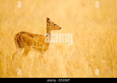 A chital deer fawn walking amidst tall grass - Stock Photo