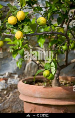 The Lemon Trees in Tuscany, Italy - Stock Photo