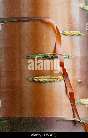 Paperbark Maple (Acer griseum) close-up of trunk in the garden design by Bahaa Seedhom North Yorkshire England May - Stock Photo