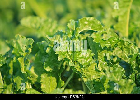 Sugar beet, cultivated Beta vulgaris - Stock Photo