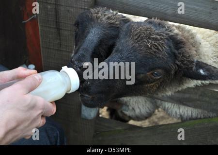 Man feedling sheep lambs with bottle - Stock Photo