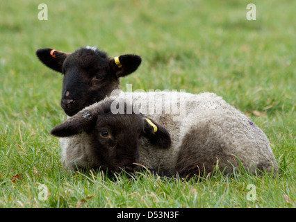 Two young lambs lying together in a field on a cold winter day - Stock Photo