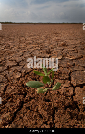 New growth in the Sarigua national park (desert), Herrera province, Republic of Panama. - Stock Photo