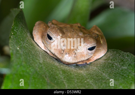 File-eared tree frog or bony-headed flying frog (Polypedates otilophus) hiding on a leaf. - Stock Photo