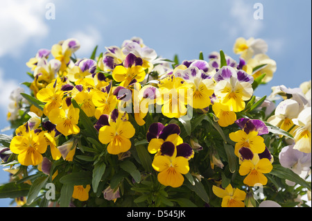 Bright yellow purple and white variated pansy flower - Stock Photo