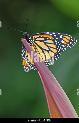 A Monarch butterfly resting on a leaf - Stock Photo