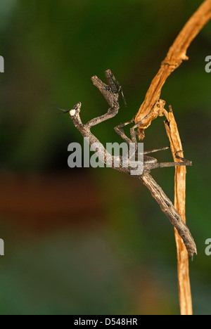 An African twig mantis displaying its form of camouflage - Stock Photo