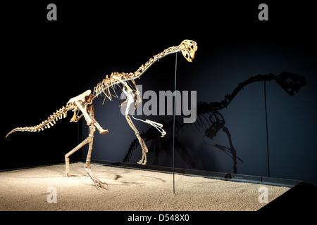 Oviraptor, Exposition of Dinosaurs from Gobi desert in Mongolia. Cosmocaixa museum, Barcelona, Spain - Stock Photo