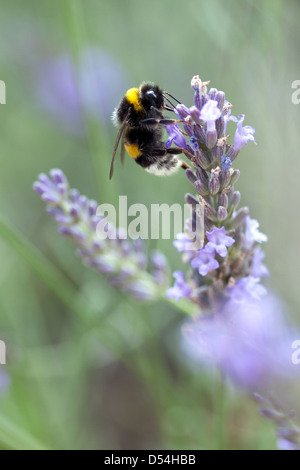Berlin, Germany, bumblebee sits on a Lavendelbluete - Stock Photo