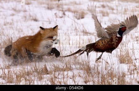 Red Fox, Vulpes vulpes hunting pheasant - Stock Photo