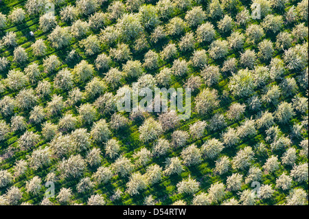Aerial view of cherry orchard spring blossoms in Mason County, Michigan, USA. - Stock Photo