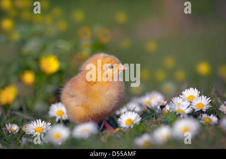 Day old chicks newly hatched in spring in daises - Stock Photo