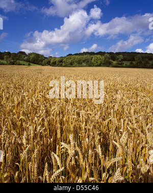 Ripe field of wheat on the North Downs. Surrey, England. - Stock Photo